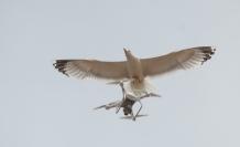Martıların 'drone' imtihanı