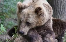 Kuzey Kafkasya'da sadece 450 boz ayı kaldı