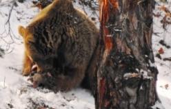 Anne ayı ve yeni doğmuş yavruları kamerada