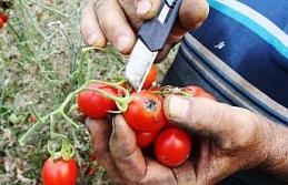 Antalya'da domates fiyatları yüzde 400 arttı