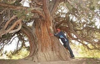 9 asırlık ardıç ağacı zamana meydan okuyor