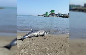 Yunus ölüsü kıyıya vurdu