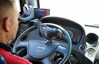 Bu halk otobüsünün muavini güvercin