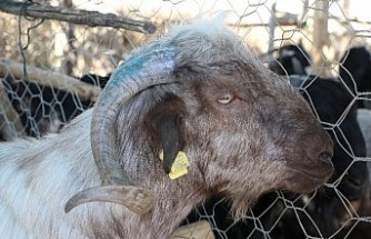 Üçüncü kattan atlayan keçi üzerine düştüğü kişiyi hastanelik etti