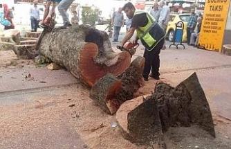 """""""O ağaç çürüdüğü ve devrilme riski olduğu için kesildi"""""""