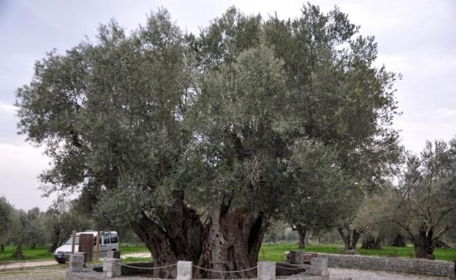 Manisalıları heyecanlandıran ağaç