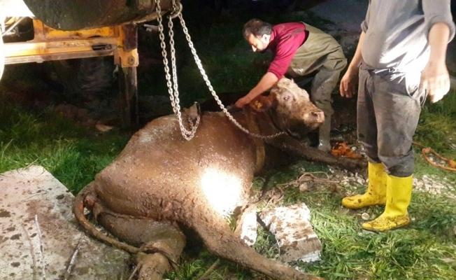 Çukara düşen hamile inek kurtarıldı