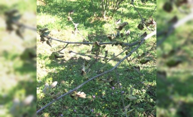 Fındık bahçelerindeki yeni tehlike