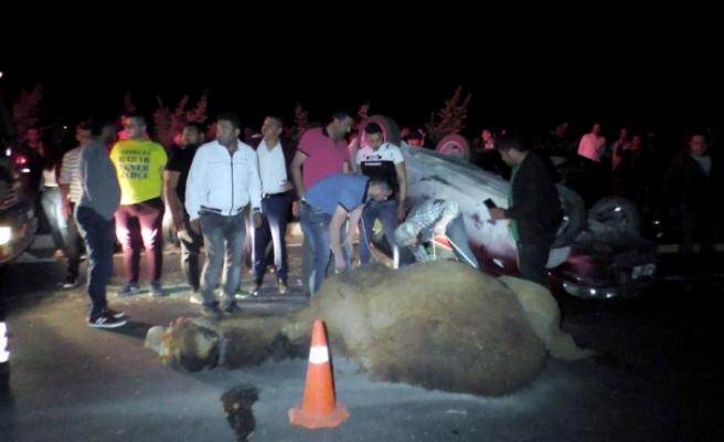 Sahipleri 200 bin TL'lilk deve için gözyaşı döktü