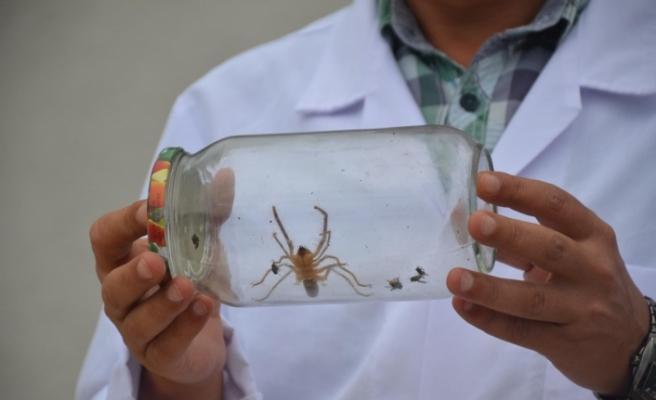 Bu örümcek yüzünden koca bir il tedirgin