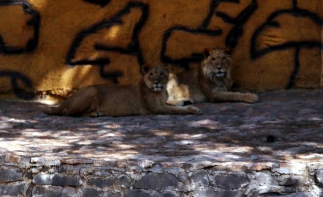 Cumhurbaşkanı Erdoğan'ın aslanları hızla büyüyor