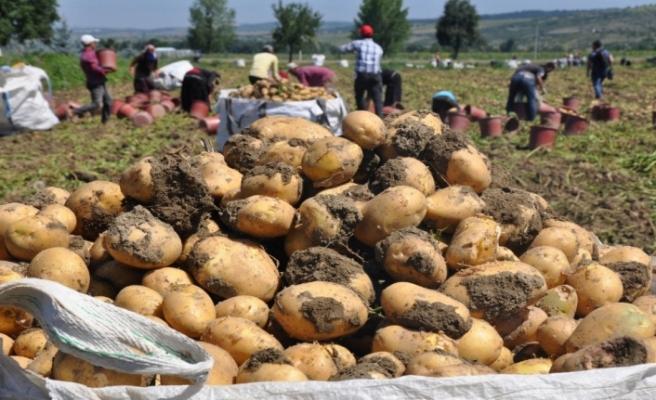 Patates hasadı yüzleri güldürdü