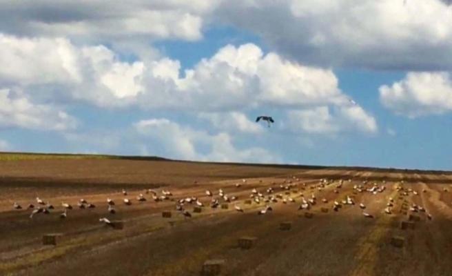 Leylekler buğday tarlalarına akın etti
