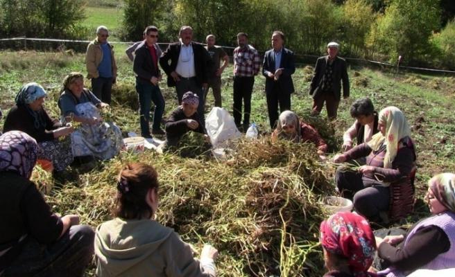 Türküler eşliğinde kuru fasulye hasadı