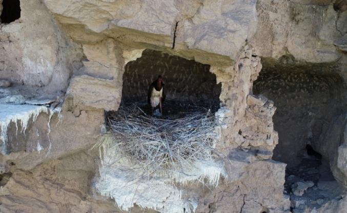 Nesli tükenmek üzere olan leylek Sivas'ta görüntülendi
