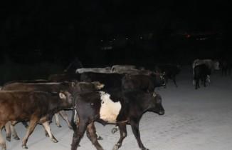 Çoban uyuyakaldı, inekler şehre indi